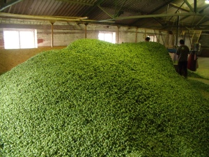 The hop pile in the drying room
