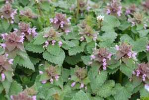 Purple-dead-nettle-1024x687 (1)